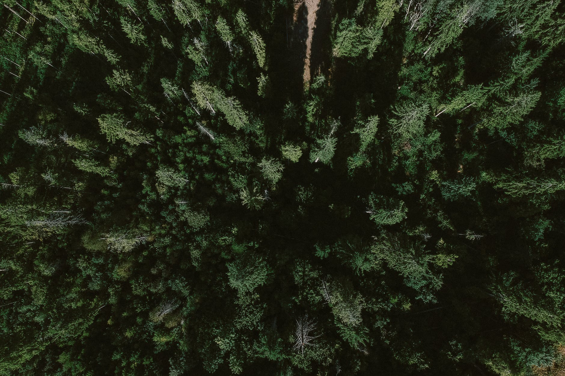 lush evergreen trees growing in endless woods